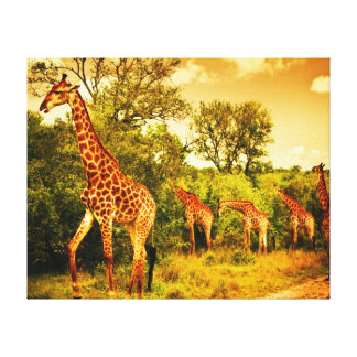 South African giraffes Canvas Print