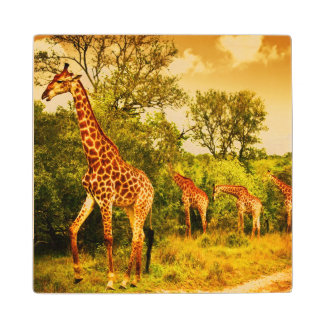 South African giraffes Wood Coaster