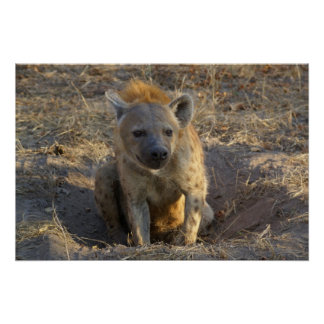 South African Hyena Poster