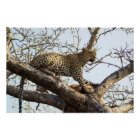 South African Leopard Poster