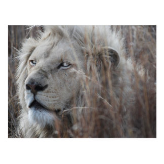South African White Lion close up Postcard
