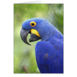 South America, Brazil, Pantanal. The endangered Greeting Card