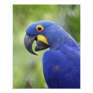 South America, Brazil, Pantanal. The endangered Poster