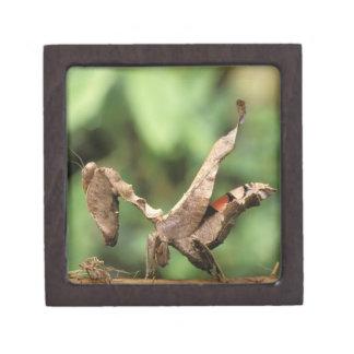 South America, Ecuador, Amazon. Praying Mantis Premium Jewelry Box