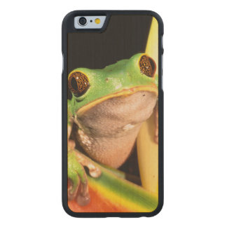 South America, Ecuador, Amazon. Tree frog Carved® Maple iPhone 6 Case