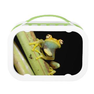 South America, Ecuador, Amazon. Tree frog (Hyla Lunch Box