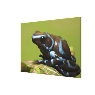 South America, Panama. Close-up of blue and Canvas Print