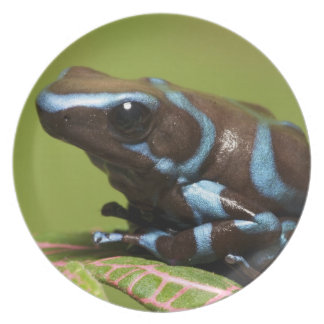 South America, Panama. Close-up of blue and Dinner Plate