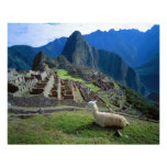 South America, Peru. A llama rests on a hill Photographic Print