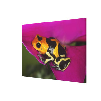 South America, Peru. Close-up of Intermedius Canvas Print
