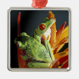 South America. Red-eyed tree frog Agalycmis Christmas Ornament