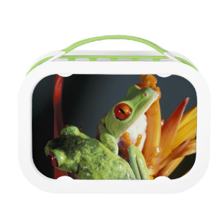 South America. Red-eyed tree frog Agalycmis Lunch Box