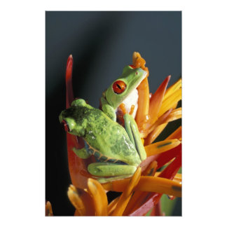 South America. Red-eyed tree frog Agalycmis Photo Print