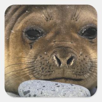 South America, South Georgia Island. Weddell Square Sticker