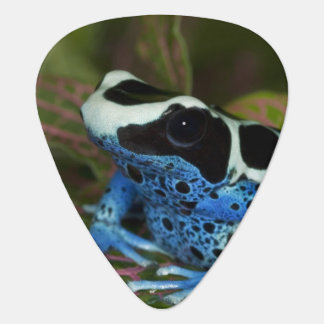 South America, Surinam. Close-up of Patricia Guitar Pick