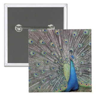 South America, Venezuela,  Peacock displaying 15 Cm Square Badge