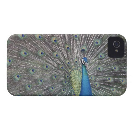 South America, Venezuela,  Peacock displaying Blackberry Bold Cover