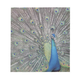 South America, Venezuela,  Peacock displaying Notepad