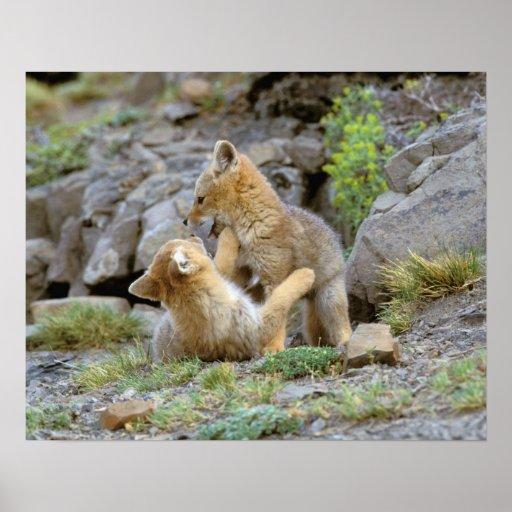 South American Gray Fox (Lycalopex griseus) pair 2 Poster