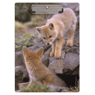 South American Gray Fox (Lycalopex griseus) pair Clipboard