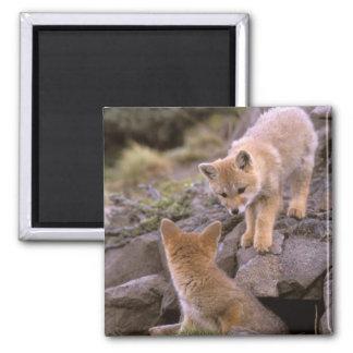 South American Gray Fox (Lycalopex griseus) pair Magnet