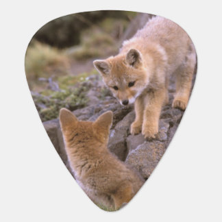 South American Gray Fox (Lycalopex griseus) pair Plectrum