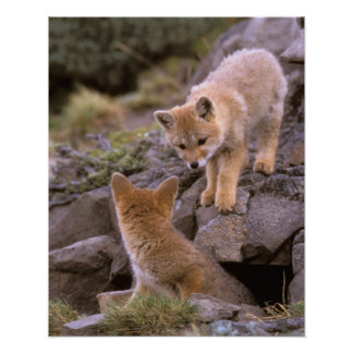 South American Gray Fox Lycalopex griseus pair Poster