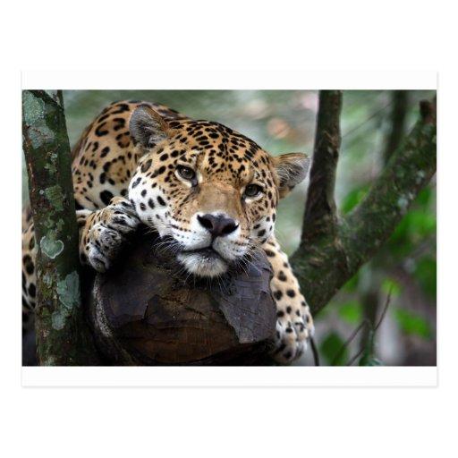 South American Jaguar Postcards
