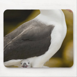 South Atlantic, Falkland Islands, New Island. 2 Mouse Mat