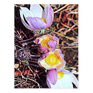 South Dakota Pasque Flower Postcard