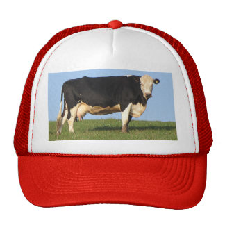 South Devo Cow On Hill Top Looking Cap
