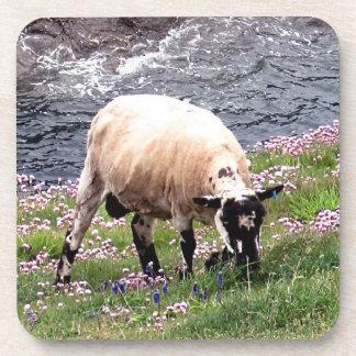 South Devon Coast Sheep Grazeing In Pinks Coaster