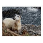 South Devon Coast Sheep On Rocks Looking Postcards