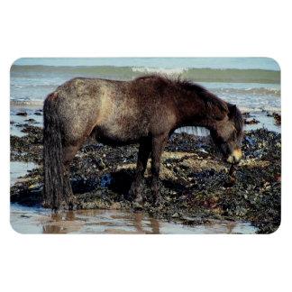 South Devon Dartmoor Pony Enjoying Eating Seaweed Magnet