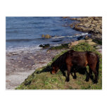 South Devon Dartmoor Pony Grazeing Near Beach Postcards