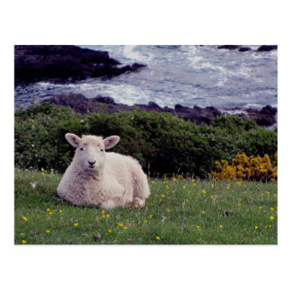 South Devon Lamb Resting On Wild Remote Coastline Postcard