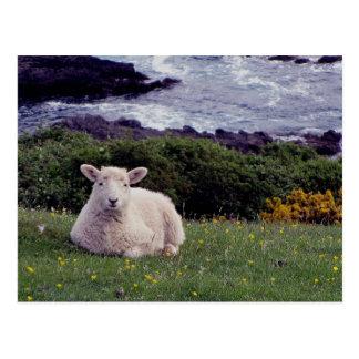 South Devon Lamb Resting On Wild Remote Coastline Postcard