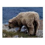 South Devon Long Wool Sheep Lamb Grazing On Coast Postcards