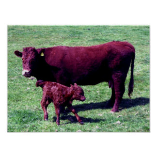 South Devon Ruby Red Cow And Young Calf Poster