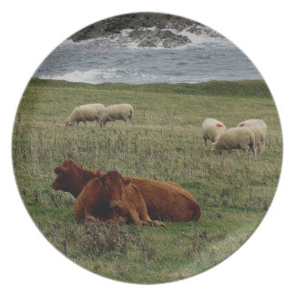 South Devon Ruby Red Cows Resting With Sheep Plate