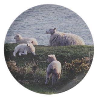 South Devon Sheep And Lambs On Remote Coastline Plate