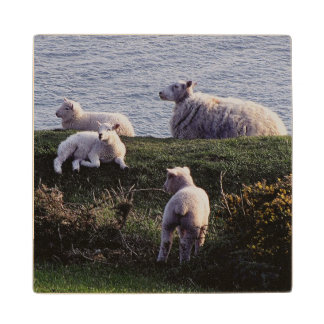 South Devon Sheep And Lambs Resting On Coastline Wood Coaster