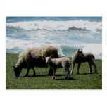 South Devon Sheep And Two Lambs On Wild Coastline Post Card