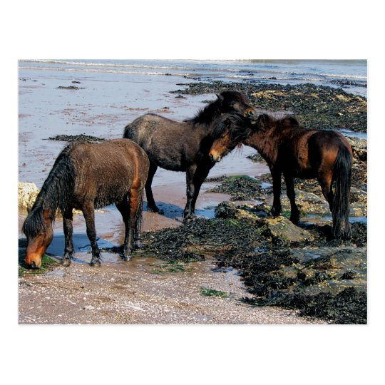 South Devon Three Dartmoor Ponies Playing On Beach