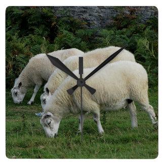South Devon Three Sheep Grazeing In Line Square Wall Clock