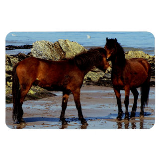 South Devon Two Dartmoor Ponies On Remote Beach Magnet