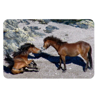 South Devon Two Dartmoor Ponies Playing On Beach Magnet
