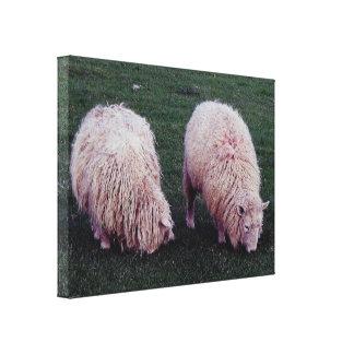South Devon Two Longwool Sheep Grazeing Canvas Print