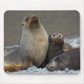 South Georgia. Antarctic fur seal 3 Mouse Mat