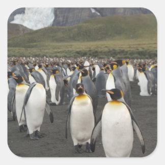 South Georgia Island, Gold Harbor. King penguin 2 Square Sticker